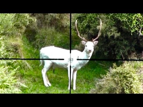 #waikarimoana Hunting Two Fallow Deer With 22-250 Rifle In New Zealand # 219  And Deer Tracking.
