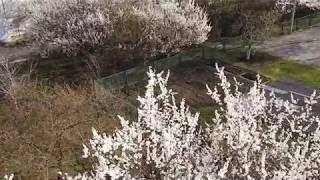 Абрикосы цветут в Харькове 19 апреля 2019