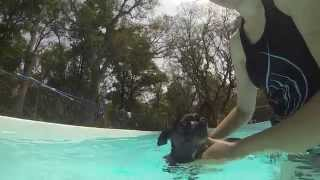 Introducing A Dog To The Pool- Take The Lead K9 Training April 2014