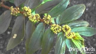 Euphorbia hirta L. Asthma-plant - Erva-de-santa-luzia (Euphorbiaceae)