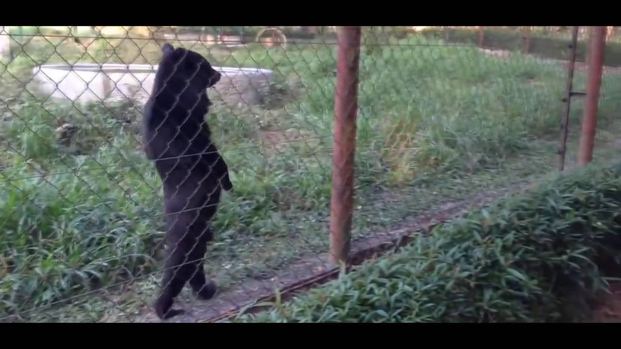 Медведь гуляет на двух лапах вдоль забора.