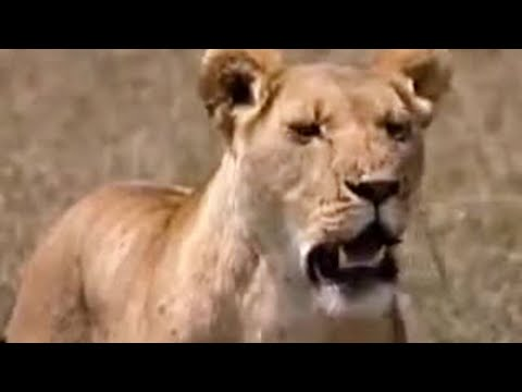 Lion searches for her lost cubs - BBC wildlife