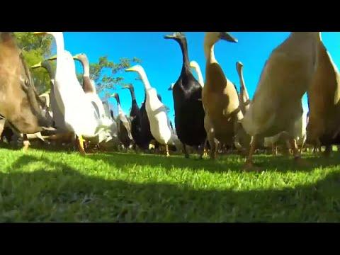 Laufenten als Schädlingsbekämpfer: Schnäbel gegen Schnecken