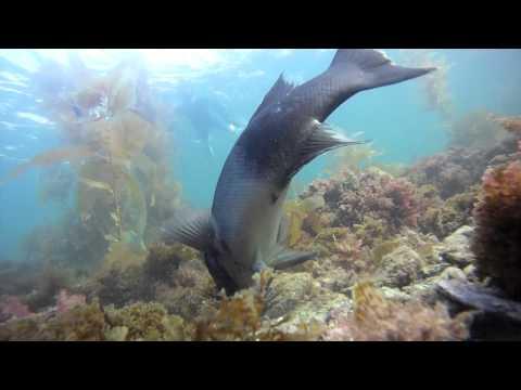 sheephead/garibaldi vs sea urchins