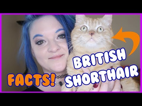 Facts about British Shorthairs. Fun Facts about British Shorthair cats. British Shorthair Cat 101!