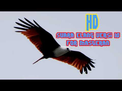 Download Suara Masteran Burung Elang versi 10 Full HD