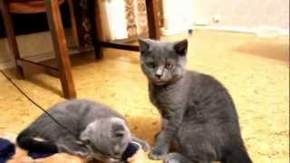 Шотландский котенок играется