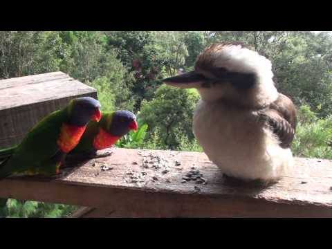 Lorikeets, Corellas and a Kookaburra