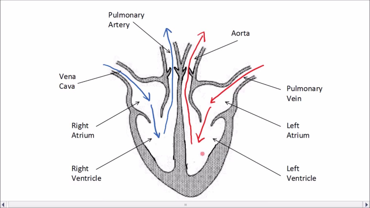 The Heart | GCSE Science | Biology | Get To Know Science