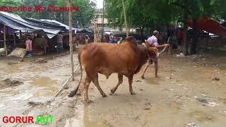View Dupkhola korbani cows hat eid ul azha gendaria dhaka bangladesh
