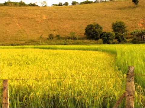 musica ouro dos arrozais