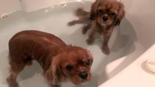 Two Dogs Taking Bath Ruby Cavalier King Charles Spaniel
