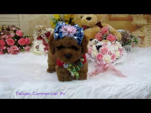 tiny toy teddy bear poodle#470