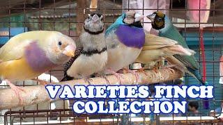 VARIETIES FINCH COLLECTION IN KOLKATA BIRDS MARKET