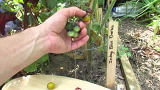 Tomato Profile: Indigo Tomatoes & Indigo Sun: Anthocyanin - TRG 2014