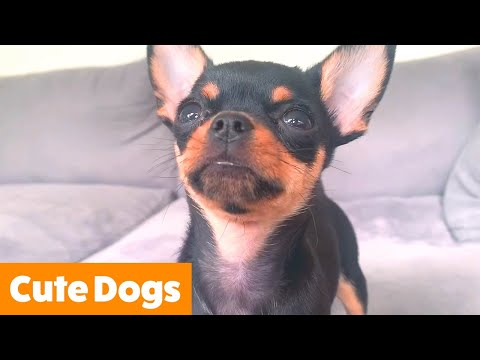 Funny Adorable Dogs | Funny Pet Videos