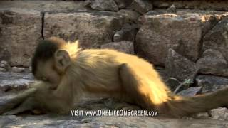 Brown capuchin monkeys breaking nuts - One Life - BBC