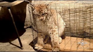 В Забайкалье предотвращена незаконная продажа дикого животного