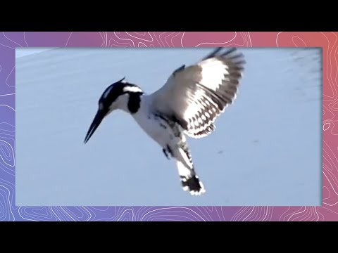 Pied Kingfisher Slow Motion Hunting, Hovering, And Diving For Fish