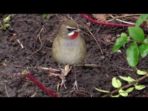 Siberian Rubythroat twitch UK to Holland Feb 2016 - YouTube