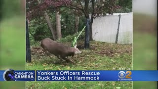 Yonkers Police Rescue Deer Caught In Hammock