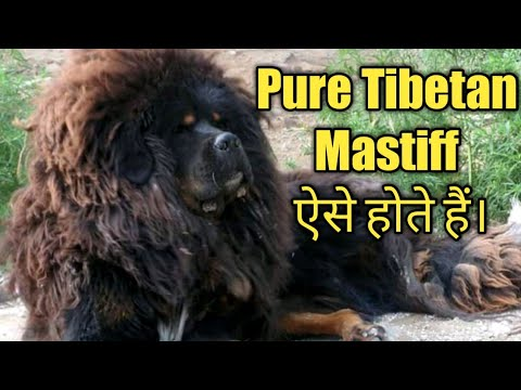 Tibetan Mastiff Original Pure Quality Vs Hybrid Comparison ( ये होती है असली क्वालिटी)