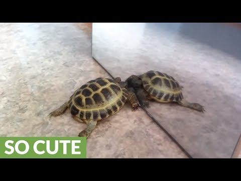 Turtle tries to make contact with his mirror reflection