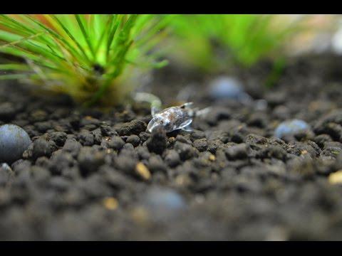 ada-60p-|-eriocaulon-planted-tank-|-2016-may-|-bumble-bee-otos-4k