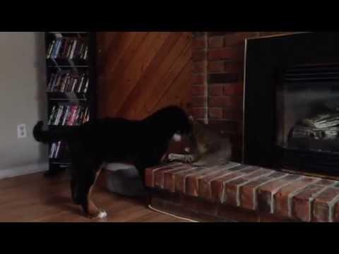 Dog vs Cat (Bernese Puppy)