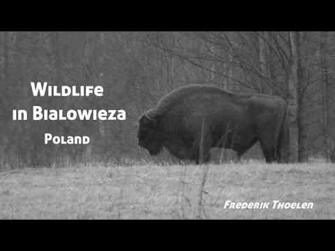 Wild Things - Wildlife in Bialowieza, Poland (English)