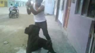 Boxer Vs Labrador. (san Juan De Marcona)