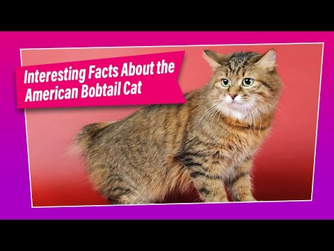 American Bobtail Cat - How Good is this Breed ?
