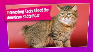 American Bobtail Cat  How Good is this Breed ?