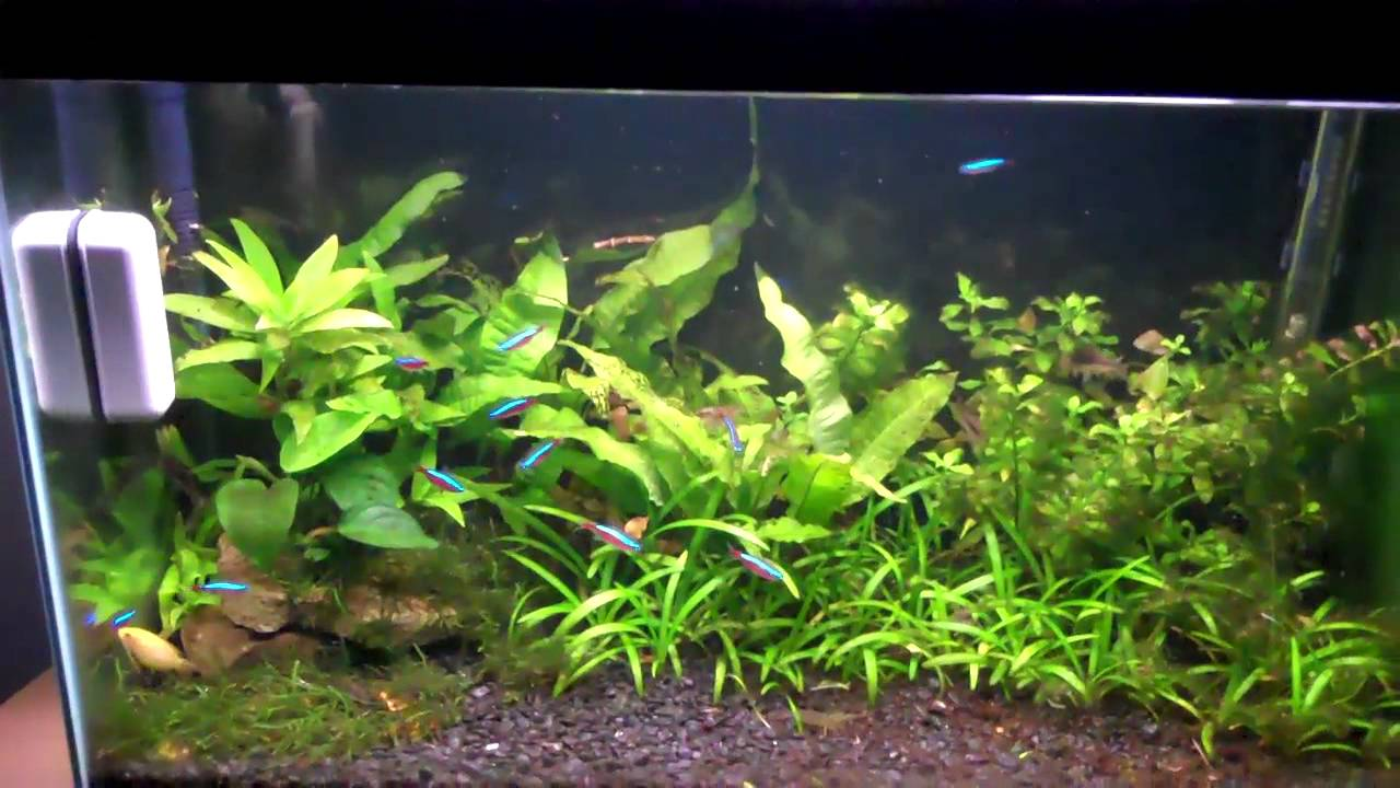 Freshwater aquarium fish easy to breed - How To Breed Neon Tetras