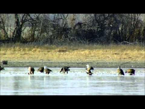 American Bald Eagles At Bean Lake Missouri