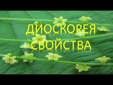 Диоскорея кавказская (трава) – полезные свойства и