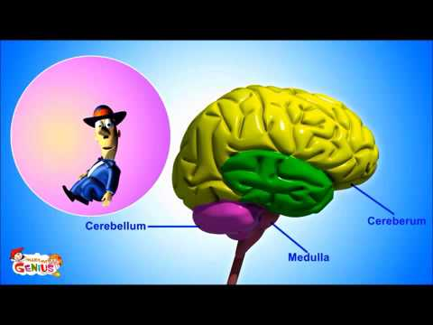 Brain Parts and Functions video for Kids from www makemegenius com ...