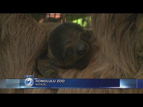 Honolulu Zoo welcomes new baby sloth