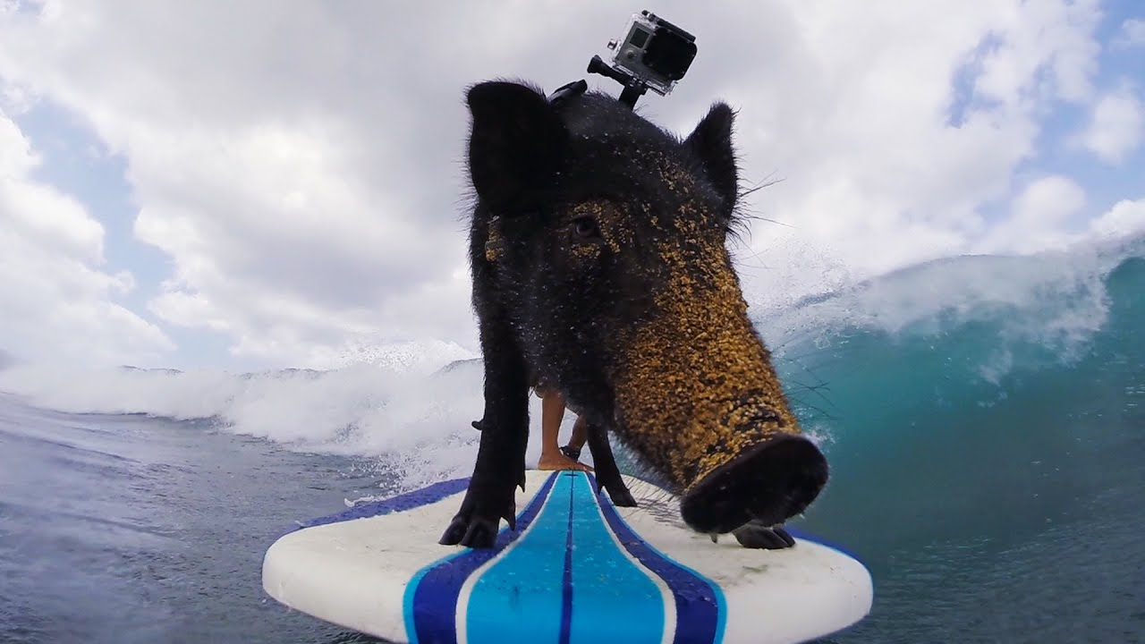 Gopro Kama The Surfing Pig Youtube Download the perfect surf boar pictures. gopro kama the surfing pig