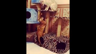 """бенгальская кошка - питомник кошек Lantana Fly  - бенгальские котята """"Cattery Bengal Cats"""","""