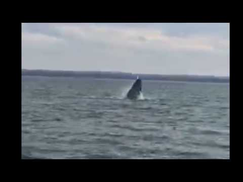 Raw video: Humpback whale breaches in Raritan Bay