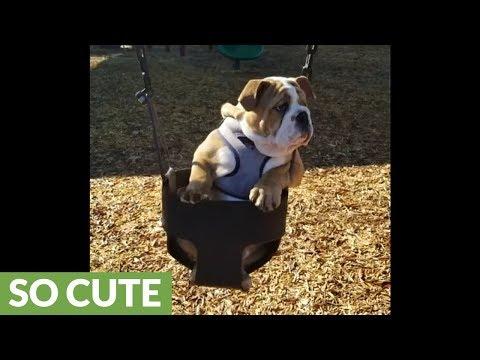 Bulldog puppy really enjoys swing at playground