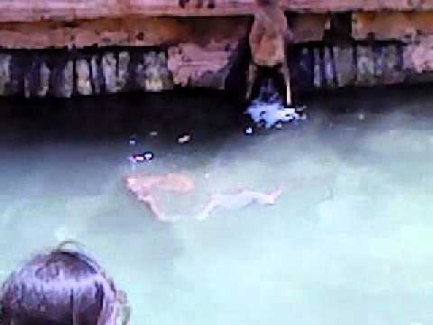 Monkeys diving at yaganti temple