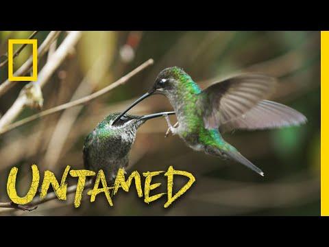Hummingbird Battleground | Untamed Mp3