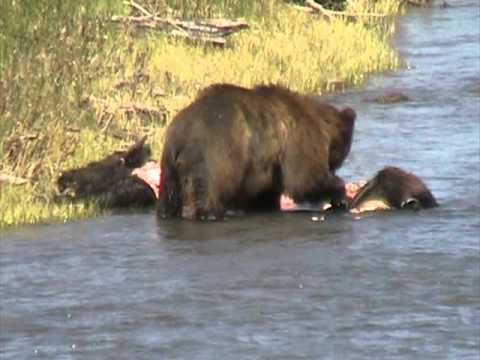 Yellowstone bear with carcass in Lamar Valley