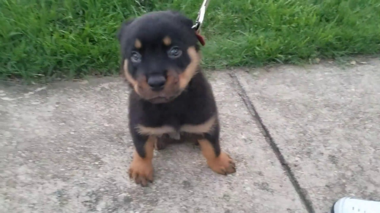 Adorable 8 week old Rottweiler Puppy Goes for A Walk ...