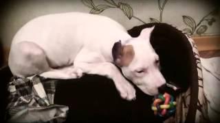 видео Диагностика аллергии у собак.
