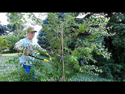 4 EZ fruit tree pruning demos for best results!