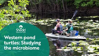 Western Pond Turtles: Studying the Microbiome
