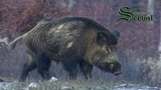 Wild Boar hunting in Bulgaria - part1